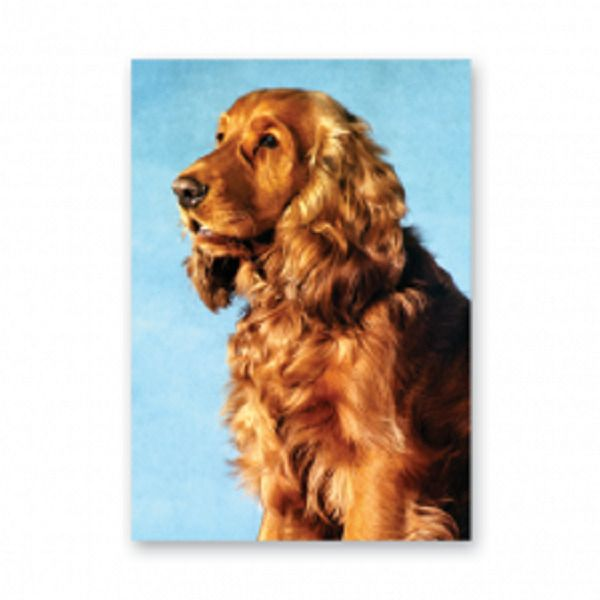 Cocker Spaniel (golden) greetings card blue background