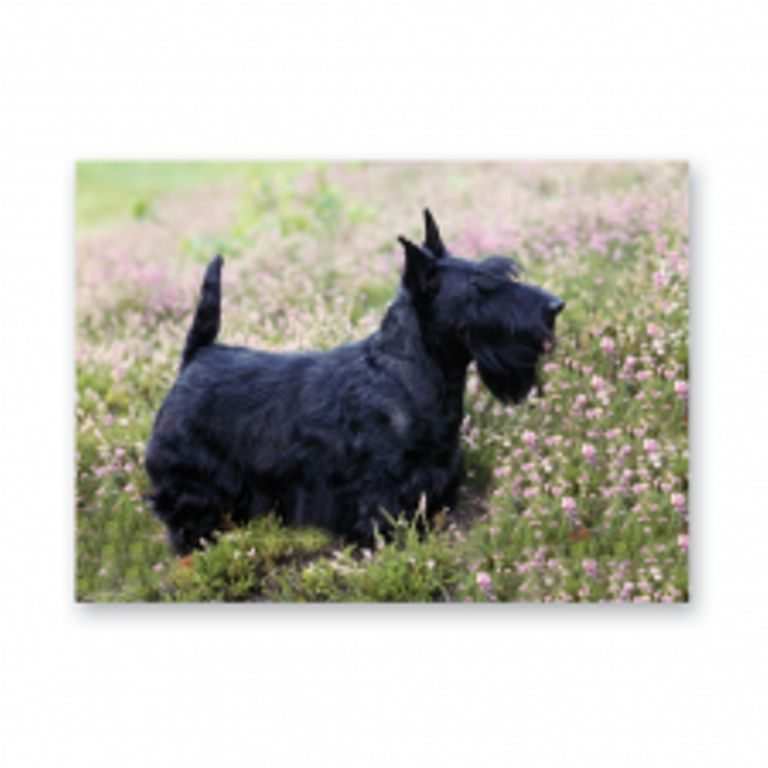 SCOTTISH TERRIER GREETINGS CARD