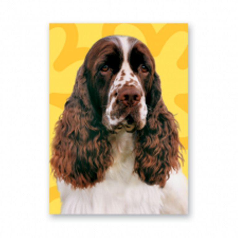 Springer Spaniel greetings card with yellow background English Springer